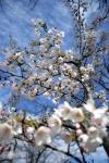 Cherry Blossom #01