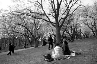 Cherry Blossom #02