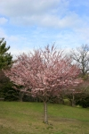 Cherry Blossom #03