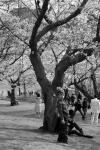 Cherry Blossom #05
