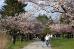 Cherry Blossom #06