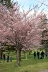 Cherry Blossom #07