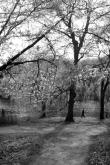 Cherry Blossom #11
