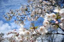 Cherry Blossom #12