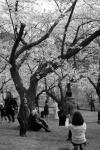 Cherry Blossom #17