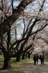 Cherry Blossom #21
