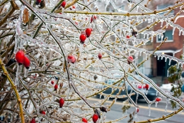 Icy Rose Hips